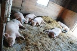 Деревянный пол в свинарнике